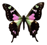 Pink%20and%20Black%20Butterfly_edited.pn