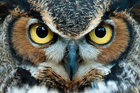 Great Horned Owl staring with golden eye