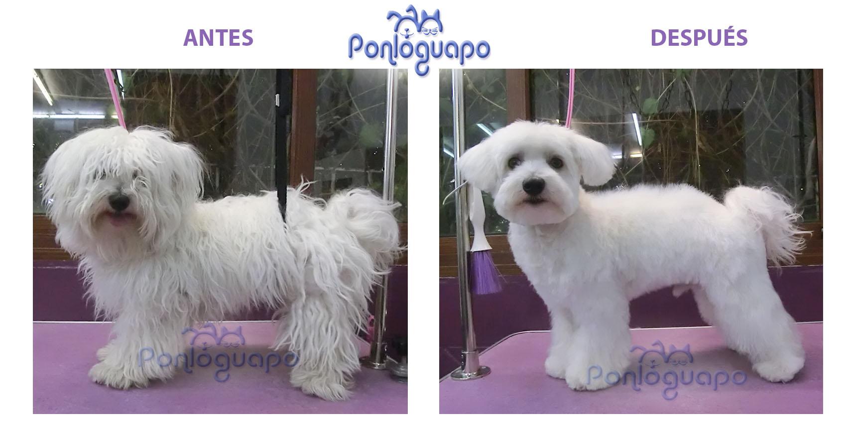Peluqueria Canina Ponloguapo Maltes