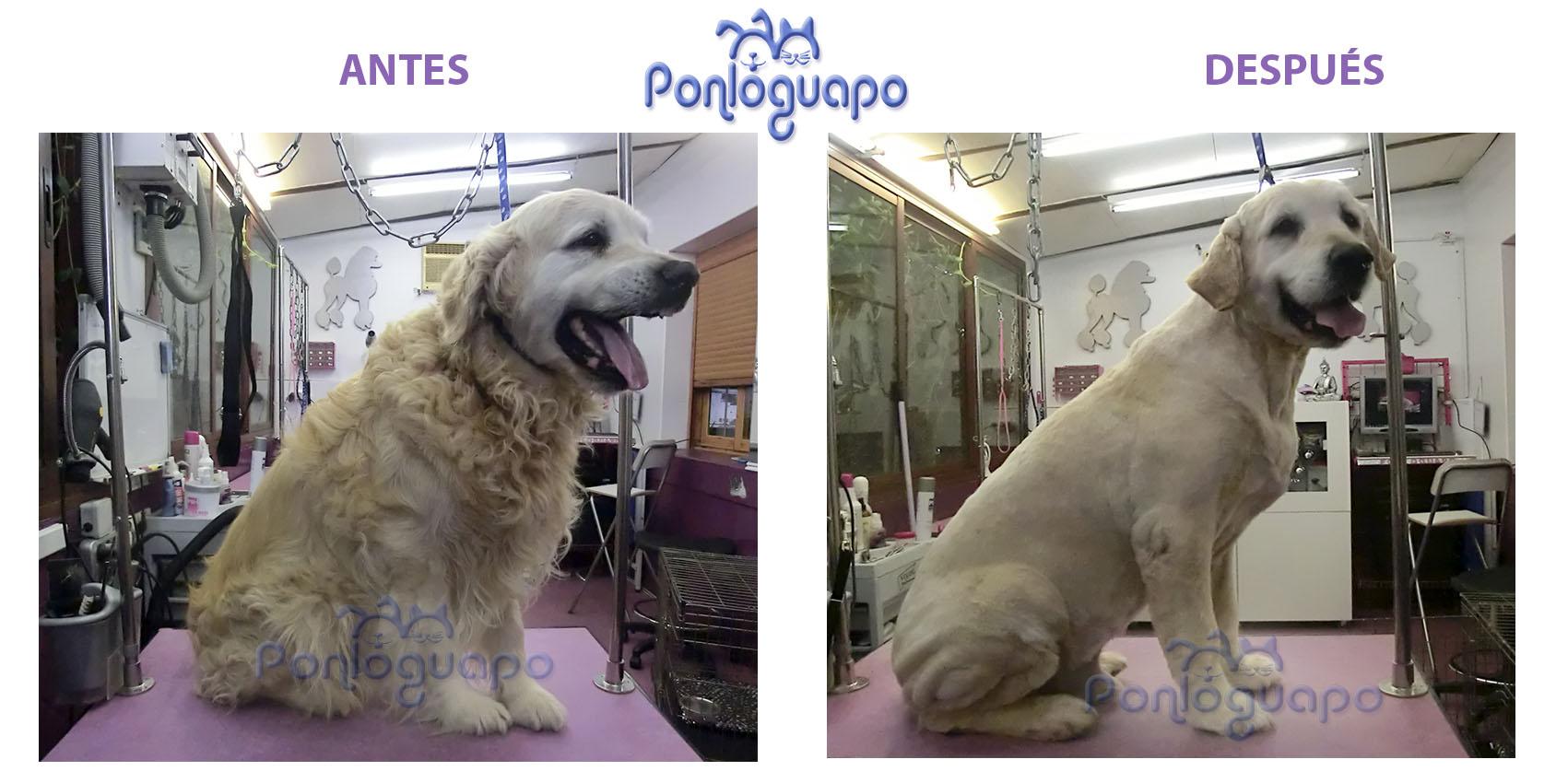 Peluqueria Canina Ponloguapo Golden