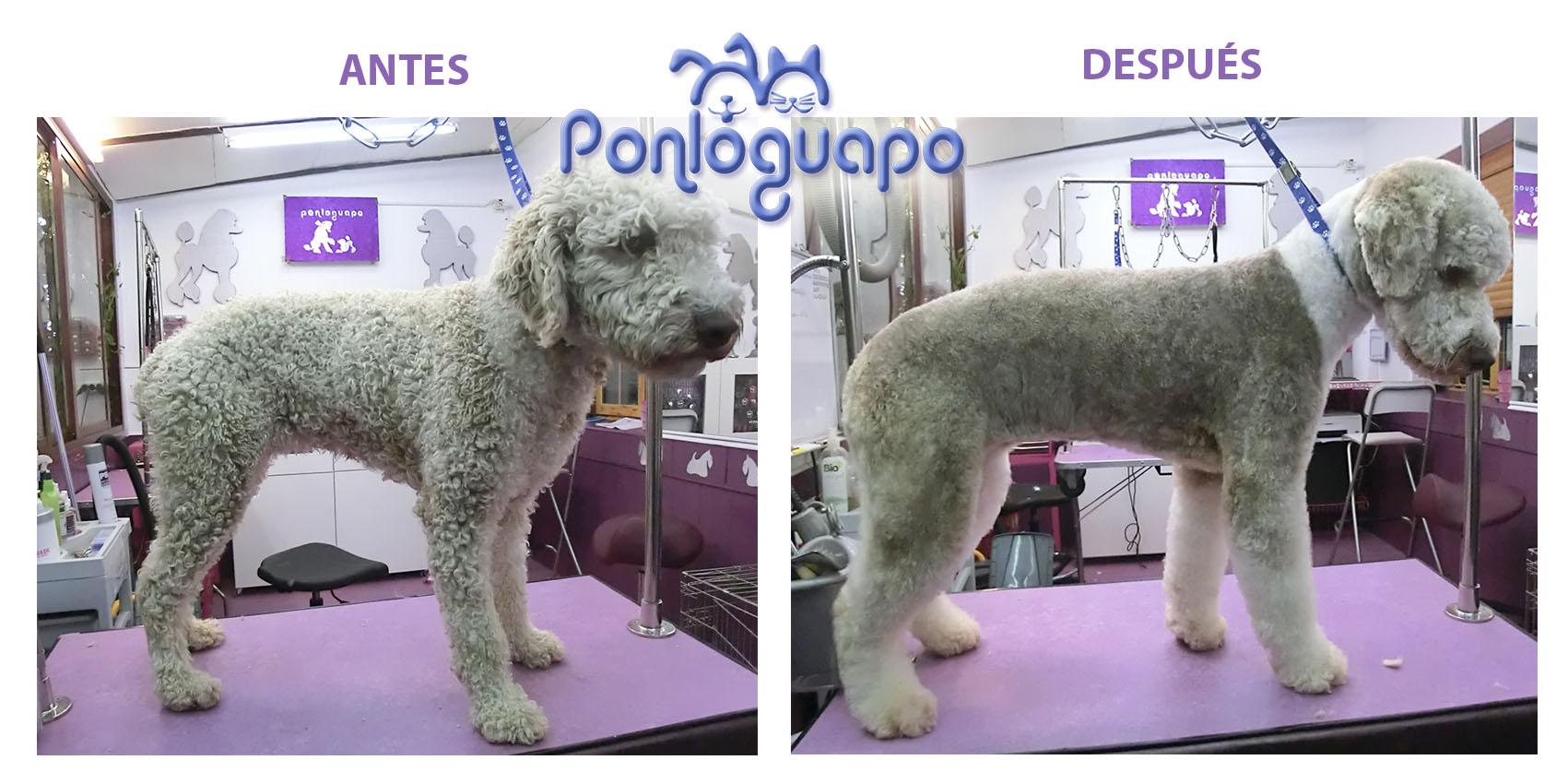 Peluqueria Canina Ponloguapo Peluche