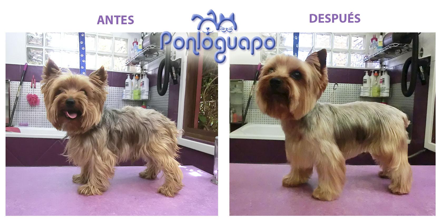Peluqueria Canina Ponloguapo Yorkie