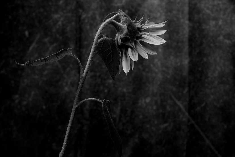 Sunflower turn away fine art print