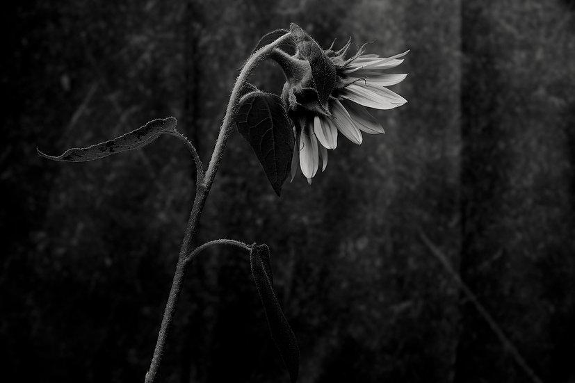 Sunflower turn away fine art print