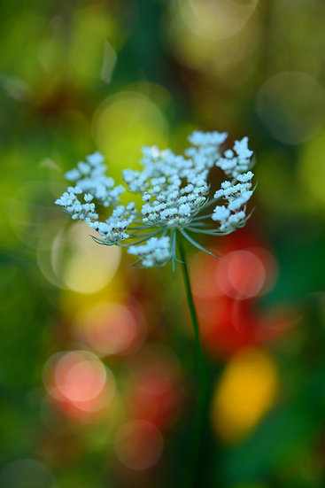 Morning Lace and Bokeh