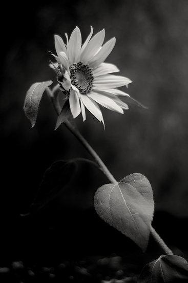 Sunflower From Carol Fine art print