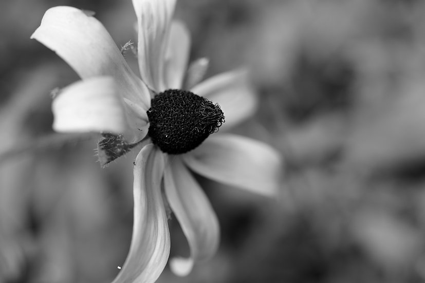 Black eyed Susan in Black and white soft bokeh Ilford print.
