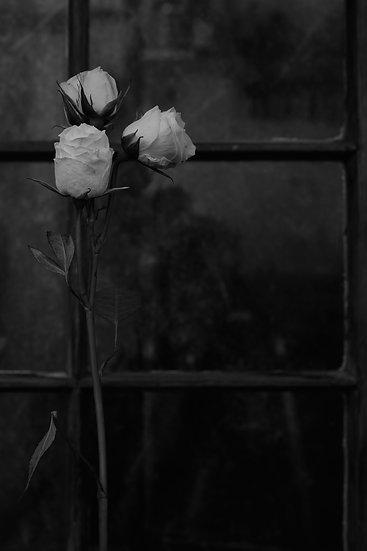 Tall white Roses Near Window