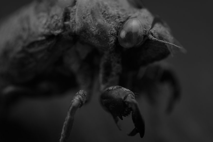 Cicada Nightmares