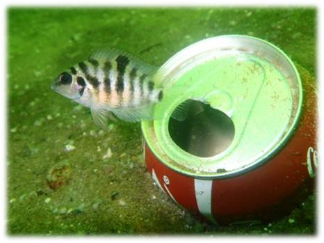 Convict cichlid by artificial breeding site
