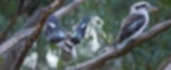 Kookaburra 3.jpg