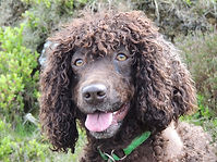 Irish Water Spaniel Rescue