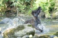 Irish Water Spaniel Breed Health Water Jumping