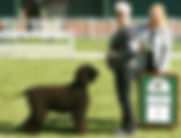 Best In Show Irish Water Spaniel Dog
