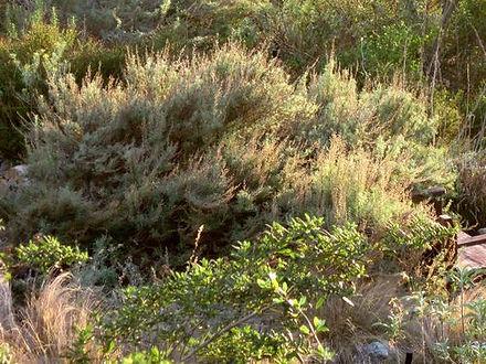 Artemisia_californica_image10.jpg