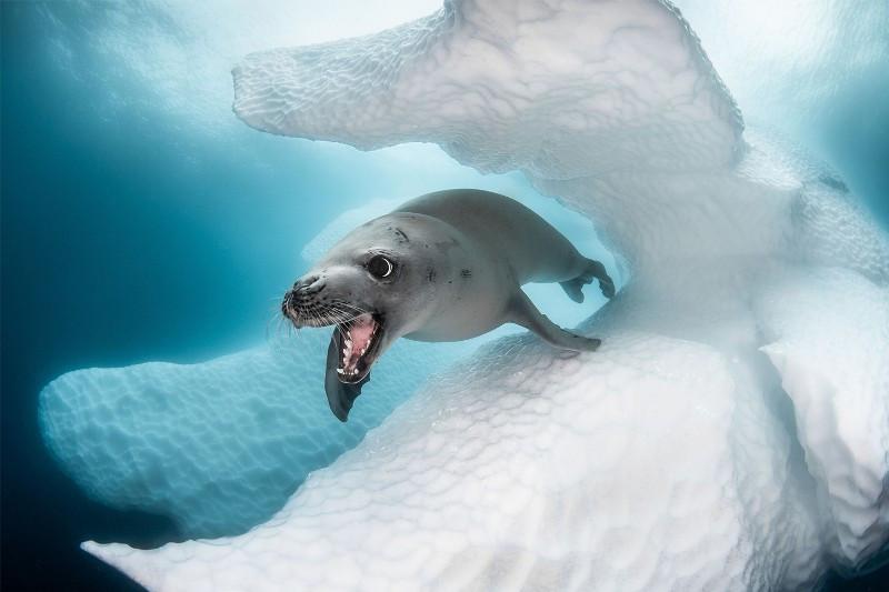 Тюлень-поедатель крабов. Автор - Грэг Лекуёр
