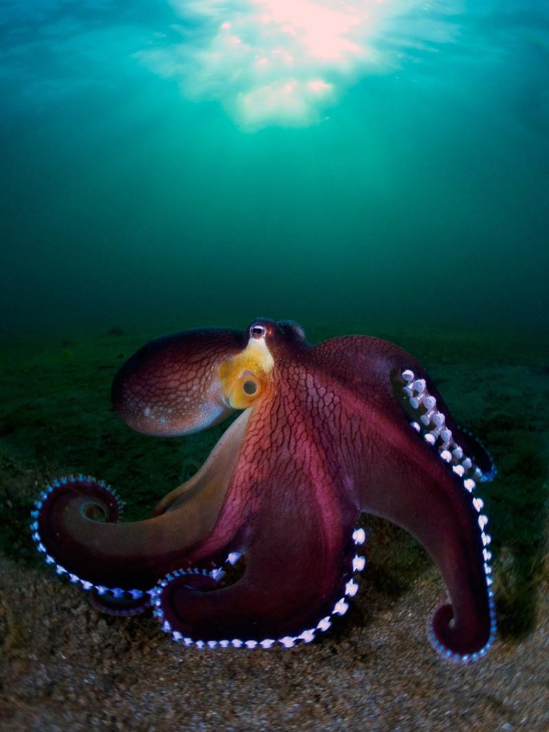 Кокосовый осьминог. Автор - Энрико Сомоджи