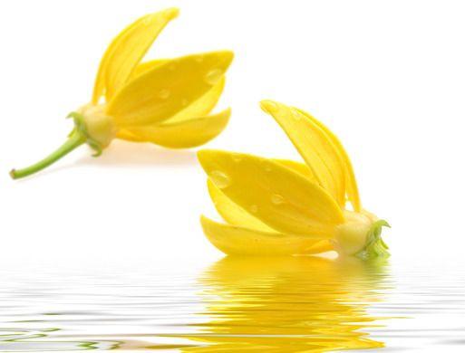 Ylang-ylang, fleurs, flower, bienfaits, bien-être, santé, nutrition, nutriments, minéraux, vitamines,