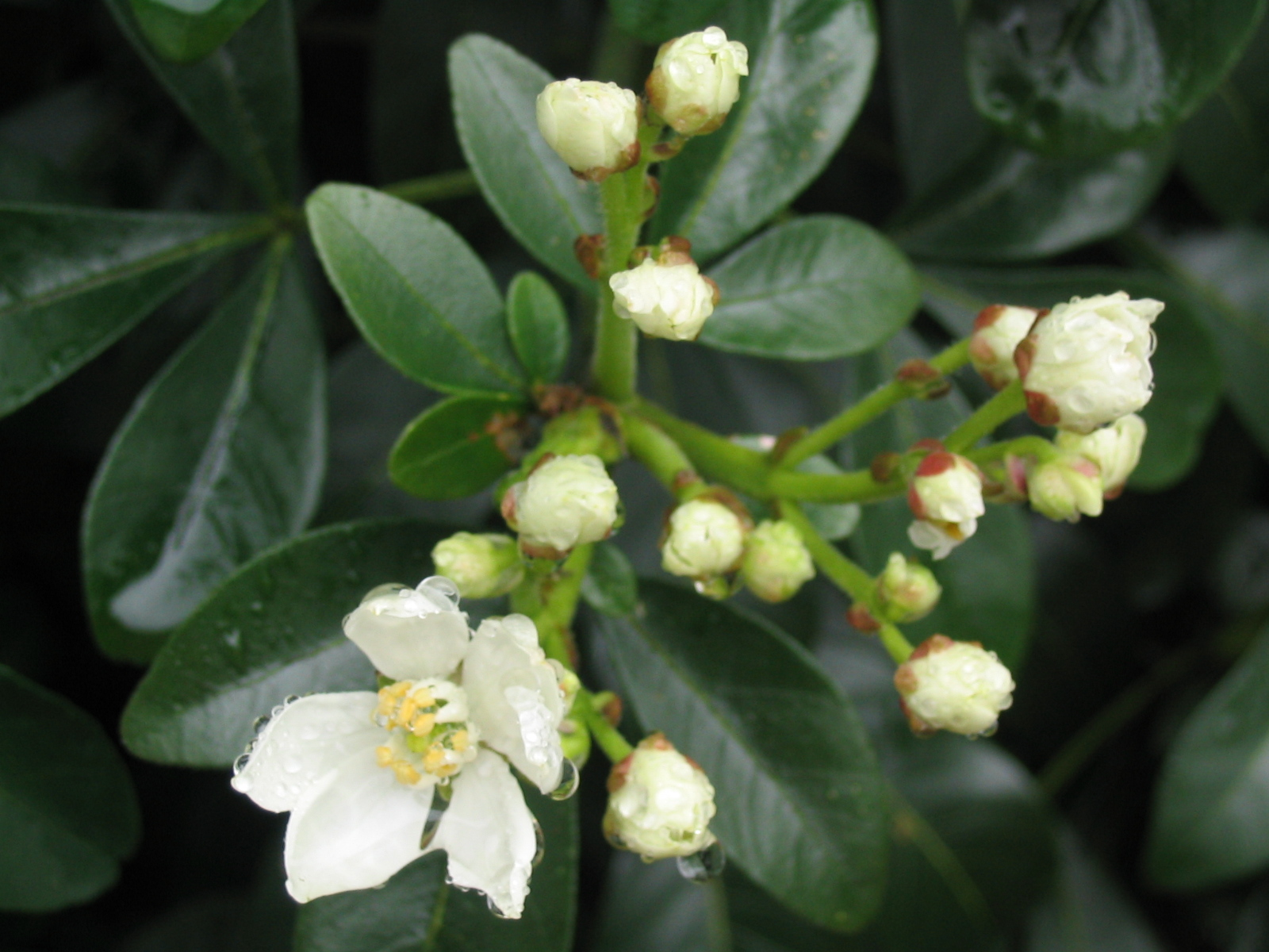 Mexican Orange Blossom standards