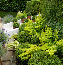 Mixed boxwood Buxus balls with chatreuse foliage