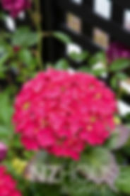 Bright cerise Hydrangea against a black trellis