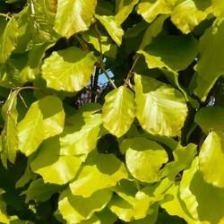 Golden Beech column leaves