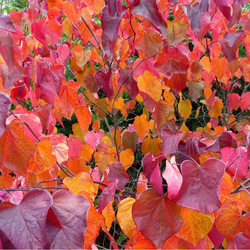 """Cercis """"Forest Pansy"""""""