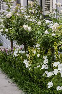 White flowering Iceberg rose standard