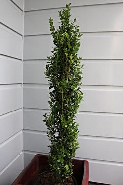 Buxus column Greenpeace