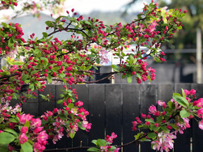 Japanese Flowering Crab Apple, pink spring blossoms on black