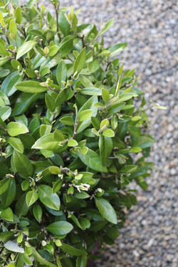 """Corokia """"Geentys Green"""" leaves"""