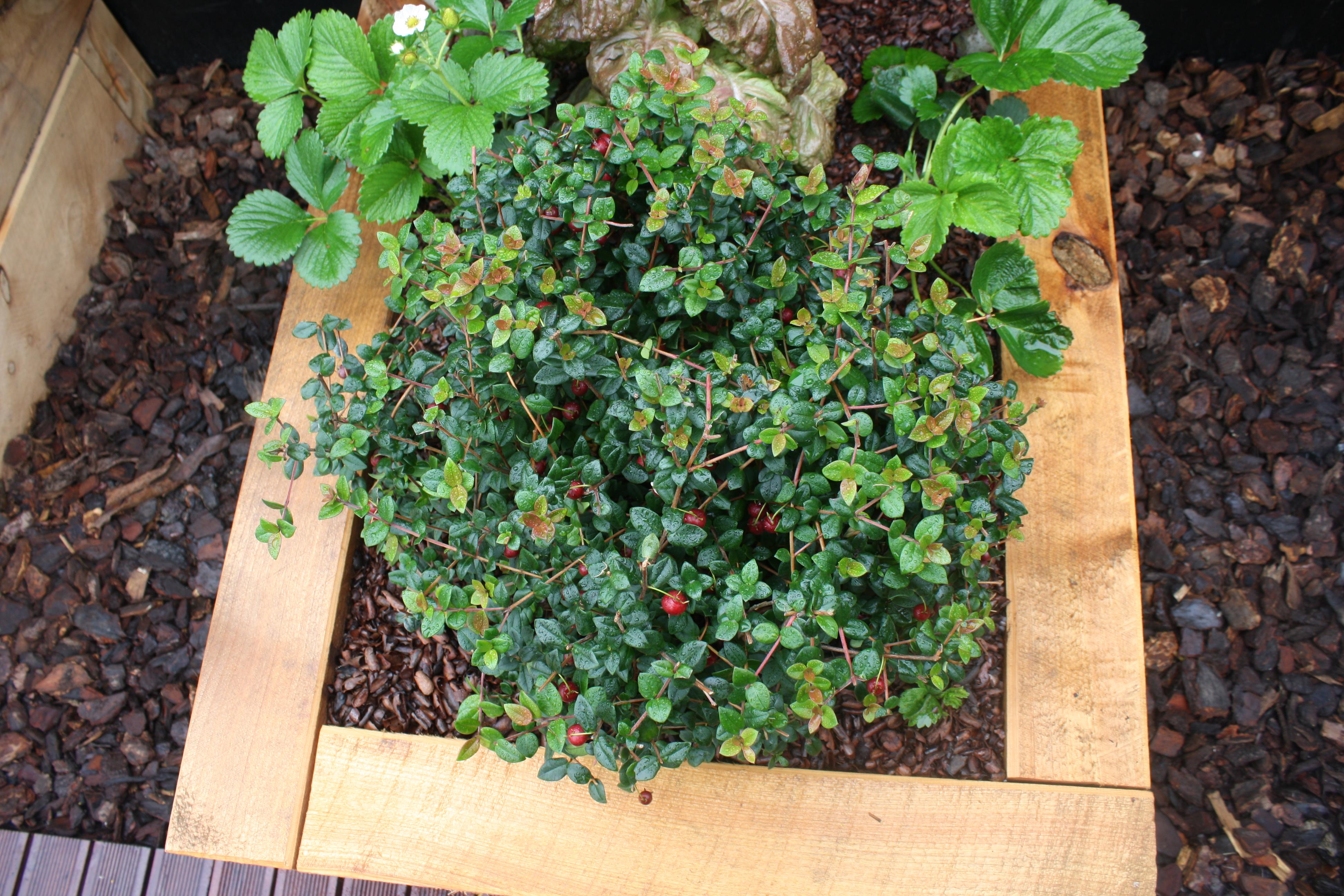 NZ Cranberry Myrtus ugni