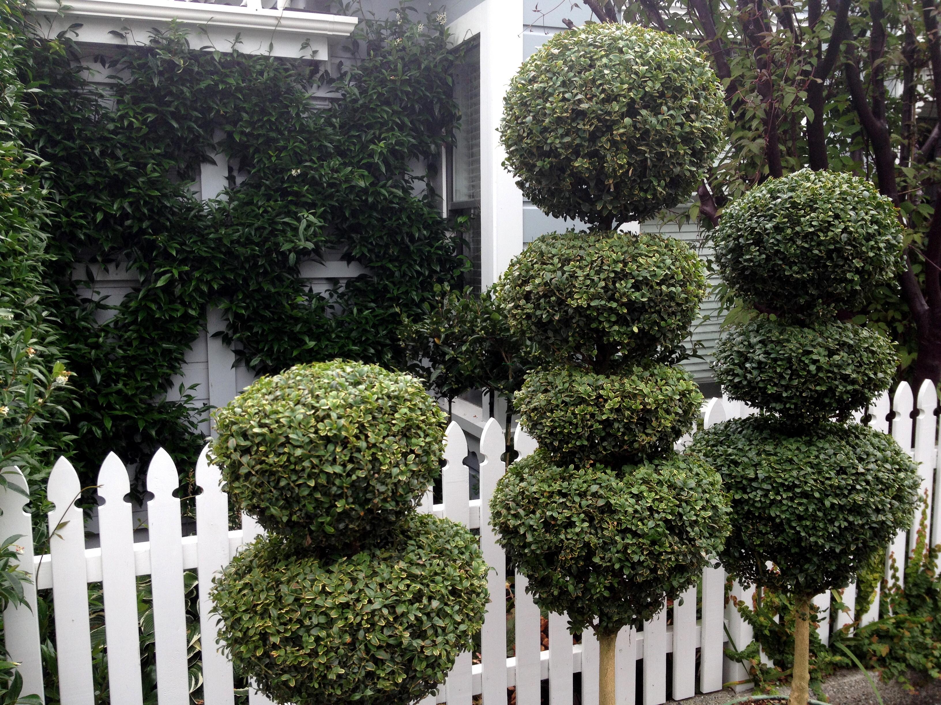 Boxwood | Buxus topiary pompoms