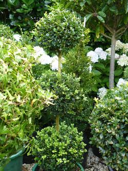 Slow growing topiary