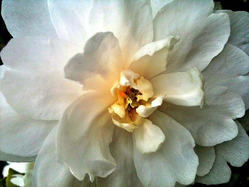 "Camellia ""Mine No Yuki"""