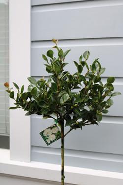 Evergreen flowering standards