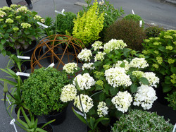 Hydrangeas & other plants