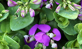 Purple flowering Polygala Petite Butterfly