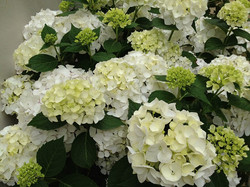 "Hydrangea ""Bridal Bouquet"""