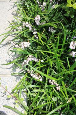 Green Mondo Grass flowers