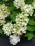 Summer flowering white Hydrangea Bridal Bouquet