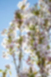 Pink blossoms of Prunus Amanogawa