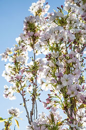 Pink blossoms of Prunus Amanogawa
