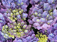 How to care for & prune Hydrangeas
