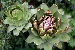 Globe artichokes