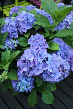 How to change Hydrangea colours