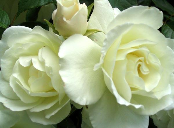 White Iceberg Roses
