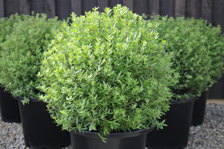 Australian Rosemary | Westringia