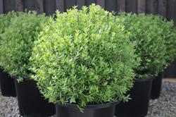 Australian Rosemary   Westringia