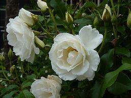 Classic white standard Iceberg Roses